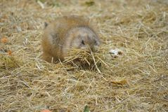 Black tailed prairie dog Cynomys ludovicianus Stock Photography