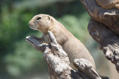 Black-tailed prairie dog Cynomys ludovicianus. Stock Photos