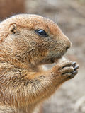 Black Tailed Prairie Dog (Cynomys ludovicianus) Royalty Free Stock Photo