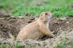 Black-tailed Prairie Dog (Cynomys ludovicianus) Stock Photos