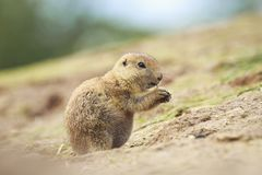 Black-tailed prairie dog Cynomys ludovicianus eating vegtables Stock Photo