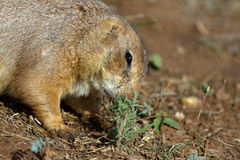 Black-tailed Prairie Dog, Cynomys ludovicianus Royalty Free Stock Images