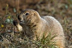 Black-tailed Prairie Dog, Cynomys ludovicianus Stock Photo