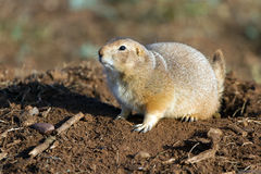 Black-tailed Prairie Dog, Cynomys ludovicianus Royalty Free Stock Photos