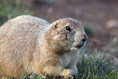 Black-tailed Prairie Dog, Cynomys ludovicianus Stock Images