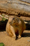 Black-Tailed Prairie Dog. Cynomys ludovicianus by a log Royalty Free Stock Images