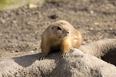 Black-tailed prairie dog, Cynomys ludovicianus, nibbling sprigs Royalty Free Stock Images