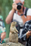 Black-tailed prairie dog  (Cynomys ludovicianus) playing for mod. El, being photographed Stock Images