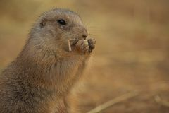 Black-tailed prairie dog - Cynomys ludovicianus royalty free stock image