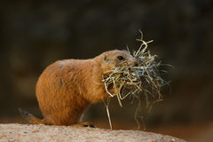 The black-tailed prairie dog Stock Photography