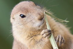 Black-tailed prairie dog  (Cynomys ludovicianus) Stock Photography