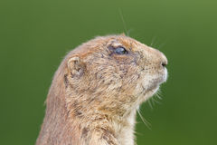 Black-tailed prairie dog  (Cynomys ludovicianus) Stock Images