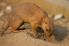 A Black-tailed prairie dog Stock Photo
