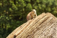 Black-tailed prairie dog Cynomys ludovicianus sitting on old wood log, looking into camere, blurred dark trees in background stock photography