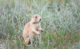 Black-tailed prairie dog Cynomys ludovicianus sitting up at prairie dog town Stock Photography