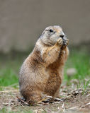 Black-Tailed Prairie Dog. (Cynomys ludovicianus) at Smithsonian National Zoological Park in Washington, D.C., USA Royalty Free Stock Photography