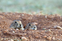 Black-tailed Prairie Dog, Cynomys ludovicianus Royalty Free Stock Image