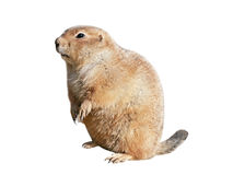 Black-tailed prairie dog Cynomys ludovicianus Stock Photos