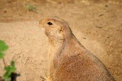 Black-tailed prairie dog Cynomys ludovicianus Stock Image