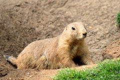 Black-tailed prairie dog Cynomys ludovicianus Stock Images