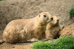 Black-tailed prairie dog Cynomys ludovicianus Royalty Free Stock Photo