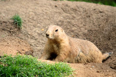 Black-tailed prairie dog Cynomys ludovicianus Stock Photography
