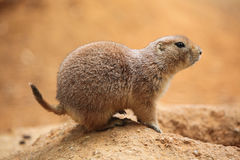 Black-tailed prairie dog (Cynomys ludovicianus) Royalty Free Stock Photos