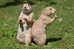 Black-tailed prairie dog Cynomys ludovicianus. Stock Photos