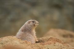 Black-tailed prairie dog, Cynomys ludvicianus in its natural environment. royalty free stock images