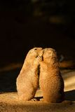 Black-tailed prairie dog Royalty Free Stock Image