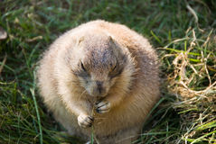 Black-tailed Prairie Dog Eating Grass Roots Royalty Free Stock Photography