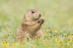 Black-tailed prairie dog eating springtime flowers Royalty Free Stock Photo