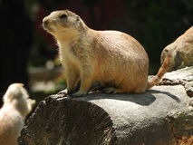 Black tailed prairie dog. Ever vigilant in their watch Royalty Free Stock Photography
