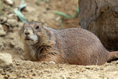 The black-tailed prairie dog Royalty Free Stock Photo