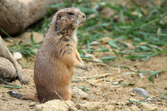 The black-tailed prairie dog Royalty Free Stock Photos