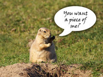 Black-tailed prairie dog fighter Stock Image