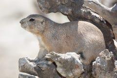 Black-tailed prairie dog is hiding among the rocks Stock Image