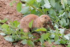Black-tailed prairie dog holding a twig with leaves Royalty Free Stock Images