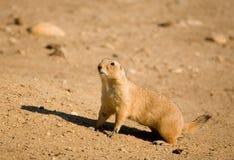Black-tailed prairie-dog Stock Image