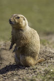 Black-tailed prairie dog or marmot Cynomys ludovicianus standi Stock Photography