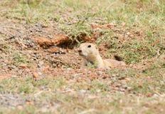 Black-tailed Prairie Dog peeking out Stock Photography