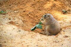 Black-tailed prairie dog Royalty Free Stock Images