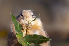 Black-tailed prairie dog Royalty Free Stock Image