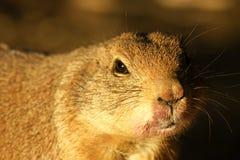 Black-tailed prairie dog stock image
