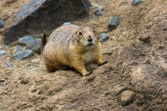 Black-tailed prairie dog. Portrait of black-tailed prairie dog. Photography of wildlife Royalty Free Stock Image