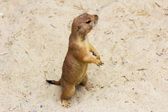 Black-tailed prairie dog. Portrait of black-tailed prairie dog. Photography of wildlife Royalty Free Stock Images