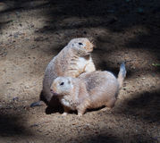 Black-tailed prairie dog Stock Photos
