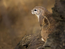 The black-tailed prairie dog from Prague zoo - Cynomys ludovicianus. Royalty Free Stock Photo