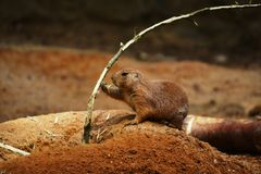 Black-tailed prairie dog. In Prague Zoo - Czech Republic royalty free stock images