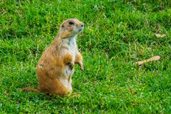 The black-tailed prairie dog is a rodent of the family Sciuridae found in the Great Plains of North America. A black-tailed prairie dog in the Zoological Park in stock images